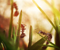 Black ants invasion conquering garden Stock Images