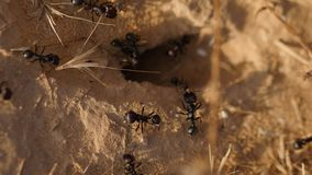 Black ants near the anthill stock video footage