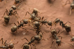 Black ants are spoiling food. Macro photo Royalty Free Stock Photos