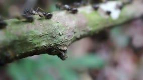 Black Ants stock video