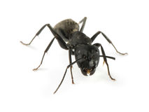 Black Ants Stock Image