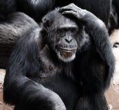 Black Ape Stock Photos