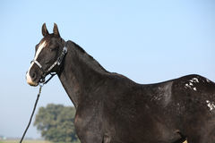 Black appaloosa mare with western halter. Portrait of black appaloosa mare with western halter Stock Image