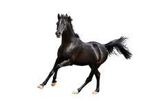 Black arab horse isolated on white. The black arab horse isolated on white Stock Image
