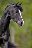 Black Arab Stallion Royalty Free Stock Photography