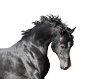 Black arab stallion horse isolated on white background Stock Photos