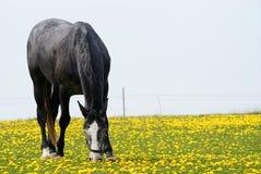 Black arab stallion Royalty Free Stock Photos