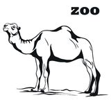 Black arabian camel Stock Image