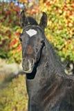 Black Arabian Foal. Black Half Arabian Colt portrait, standing by crabb apple tree Royalty Free Stock Photography