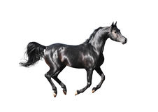 Black arabian horse isolated on white. The black arabian horse isolated on white Stock Photography
