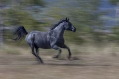 Black Arabian horse running Stock Image