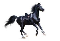 Black arabian stallion. Gallops ob white background Stock Images