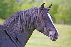 Black Arabian Stallion. Headshot of beautiful black Arabian Stallion in field, profile Stock Photos