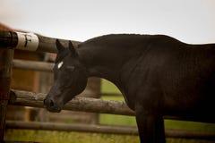 Black arabian stallion. Black arabian, horse head, nice face Stock Photos