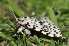 Black Arches Moth Royalty Free Stock Photos