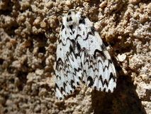Black Arches Moth. (Lymantria monacha) on a stone wall Stock Photography