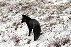 Black arctic fox. In the snow Churchill Manitoba Royalty Free Stock Photography