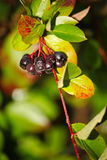 Black aronia berry quince growing brush and hidden green foliage on the branches of a bush. Stock Photo