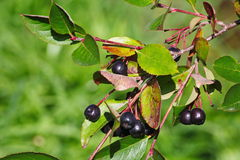 Black aronia berry quince growing brush and hidden green foliage on the branches of a bush. Stock Image