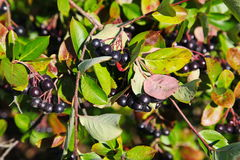 Black aronia berry quince growing brush and hidden green foliage on the branches of a bush. Royalty Free Stock Photos