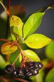 Black aronia berry quince growing brush and hidden green foliage on the branches of a bush. Royalty Free Stock Photo