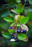 Black aronia berry quince growing brush and hidden green foliage on the branches of a bush. Stock Photos