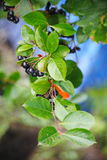 Black aronia berry quince growing brush and hidden green foliage on the branches of a bush. Royalty Free Stock Image