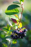 Black aronia berry quince growing brush and hidden green foliage on the branches of a bush. Stock Photography