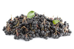 Black aronia. Cluster black aronia (Aronia arbutifolia) on white  background Stock Images