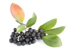 Black aronia. Cluster black aronia (Aronia arbutifolia) on white  background Royalty Free Stock Image