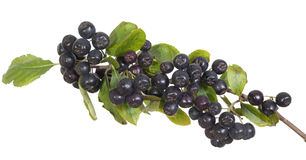 Black aronia. Cluster black aronia (Aronia arbutifolia) on white  background Stock Image