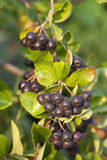 Black aronia Stock Images