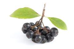 Black aronia. Cluster ripe aronia (Aronia arbutifolia) on white background Stock Image