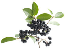 Black aronia Stock Photography