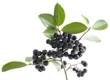 Black aronia. Cluster ripe aronia (Aronia arbutifolia) on white background Stock Photography