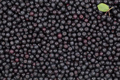Black aronia. Black ripe aronia (Aronia arbutifolia) as background Royalty Free Stock Image