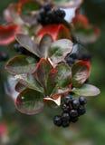 Black ashberry. / Black rowan /Black chokeberry (Aronia melanocarpa Royalty Free Stock Photo