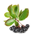 Black ashberry Stock Photography