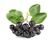 Black ashberry Royalty Free Stock Photography