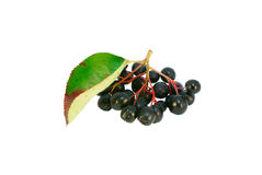Black ashberry (Aronia melanocarpa). Black ashberries with leafs, isolated on white Stock Image