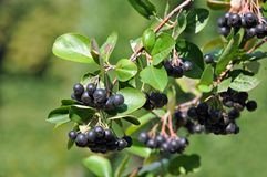 Black ashberry (Aronia melanocarpa) Stock Photos