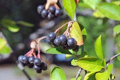 Black ashberry (Aronia melanocarpa) Stock Photo