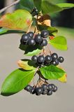 Black ashberry (Aronia melanocarpa) Stock Images