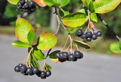 Black ashberry (Aronia melanocarpa) Royalty Free Stock Photo