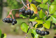 Black ashberry (Aronia melanocarpa) Royalty Free Stock Image