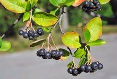 Black ashberry (Aronia melanocarpa) Royalty Free Stock Photo