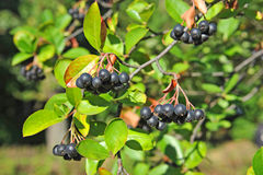 Black ashberry (Aronia melanocarpa) Royalty Free Stock Images