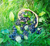 Black ashberry in a basket in the garden Stock Image