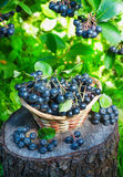 Black ashberry in a basket in the garden Stock Images