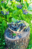 Black ashberry in a basket in the garden Stock Photography